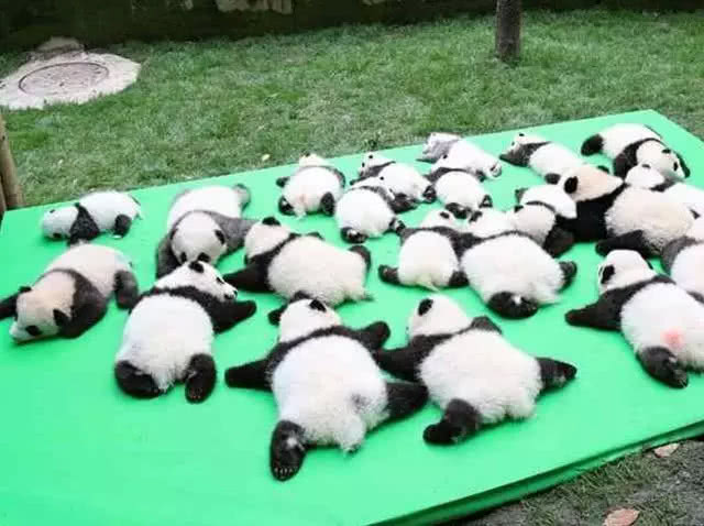 饲养员晒出一堆大熊猫,网友却被这一只吸引住:生没墨了吗?!