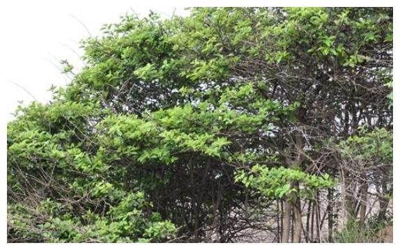 """农村称为""""帝王木""""的植物,才知能提取染料,价值珍贵,全身是宝"""