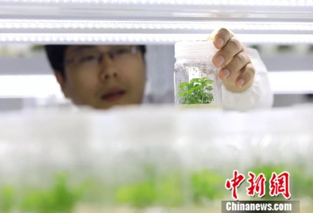 屠呦呦发现的抗疟高效药,原材料的最大产地在这里