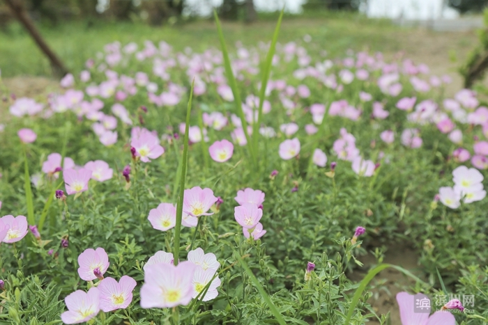 天人菊玉玲花茶条槭羽扇槭 滨州植物园二期越来越美!