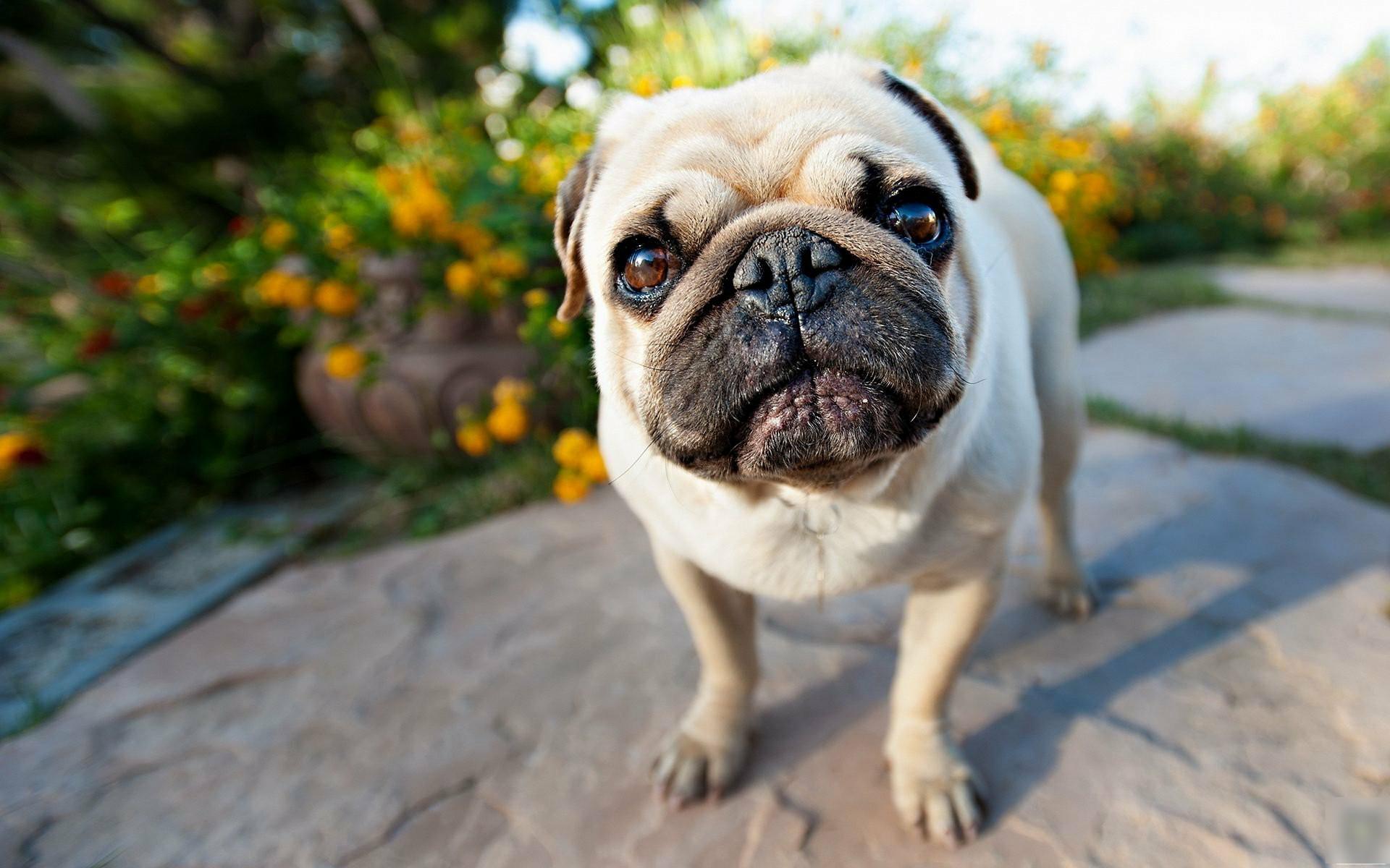 国内常见的5种宠物狗,不仅产自中国,价格都在1000元以..