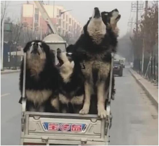 三轮车载五只阿拉斯加,一路仰头乱吼,主人:我不认识它们