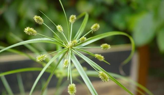 农村一种杂草,常被农民当害草除掉,殊不知是一种良药,还可做纸