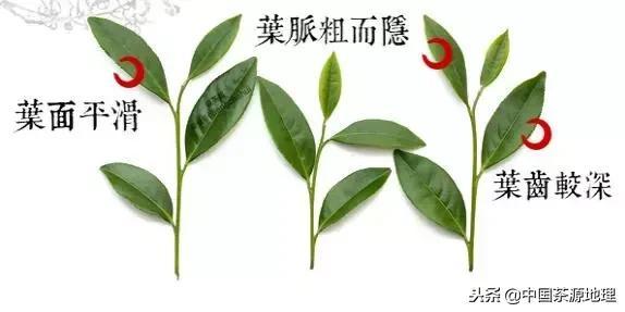 习茶|简单区分水仙、肉桂、大红袍三个主要岩茶品种