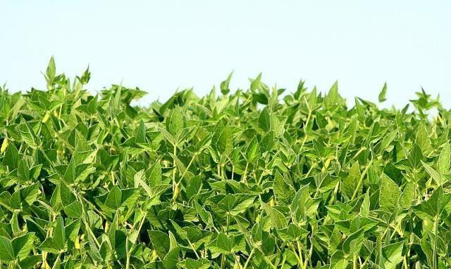 """咱家大豆为啥每年都""""趴秧""""注意这几点大豆不在倒伏"""