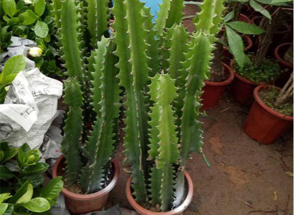 龙骨花黄叶怎么办?以下3个方面多注意,龙骨健壮开花又多又大