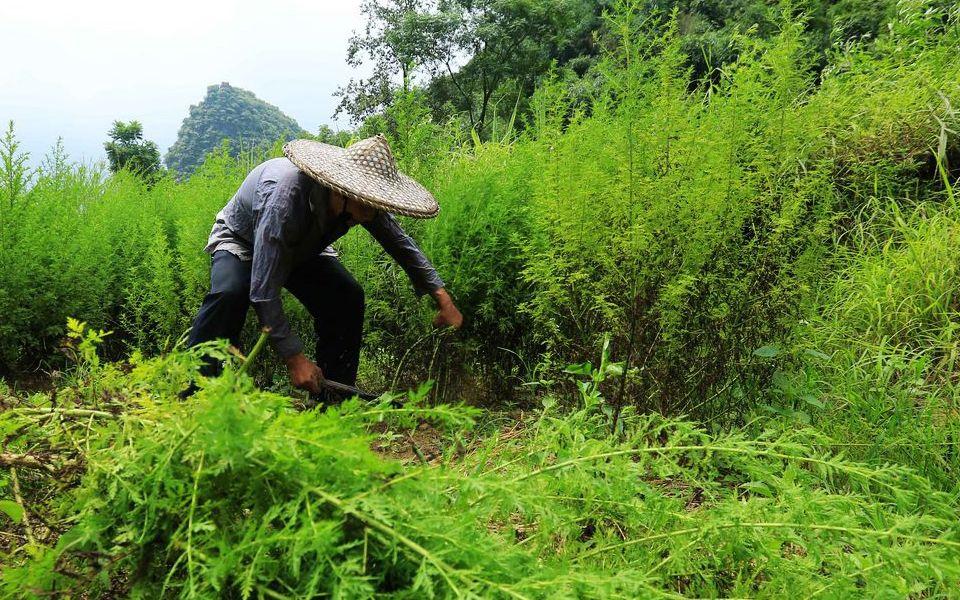 屠呦呦研究的青蒿素 原材料青蒿也是贫困户致富草