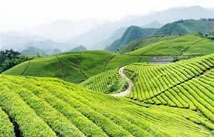 名茶农业:花果山云雾茶与南京雨花茶、苏州碧螺春是江苏三大名茶
