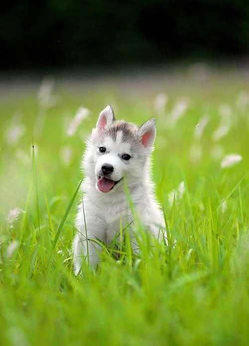 网友误将狼崽当做哈士奇喂养两年,到头来,家禽全被咬死!