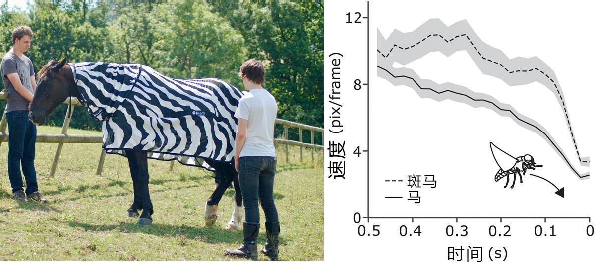 为何斑马没有广泛用于乘骑或者畜牧业?斑马能被驯化吗?