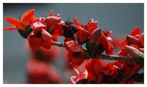 金花茶属于山茶科,和山茶花差不多,是我国的一级保护植物