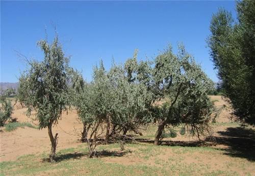 它北方才能种植,含糖量很高,能鲜食能喂养牲畜,不灌水也能活!