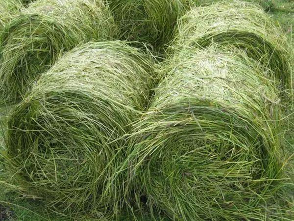 它被称为最适宜牲畜的牧草,还是水稻的优质肥料