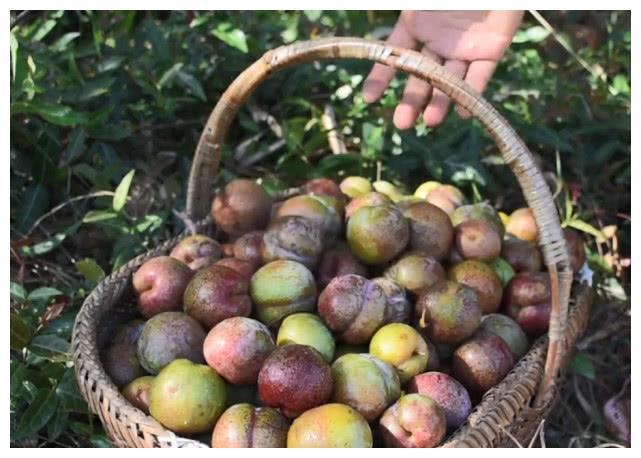 树上长满又大又红的李子,摘一筐来做蜜饯,纯天然的看着就嘴馋