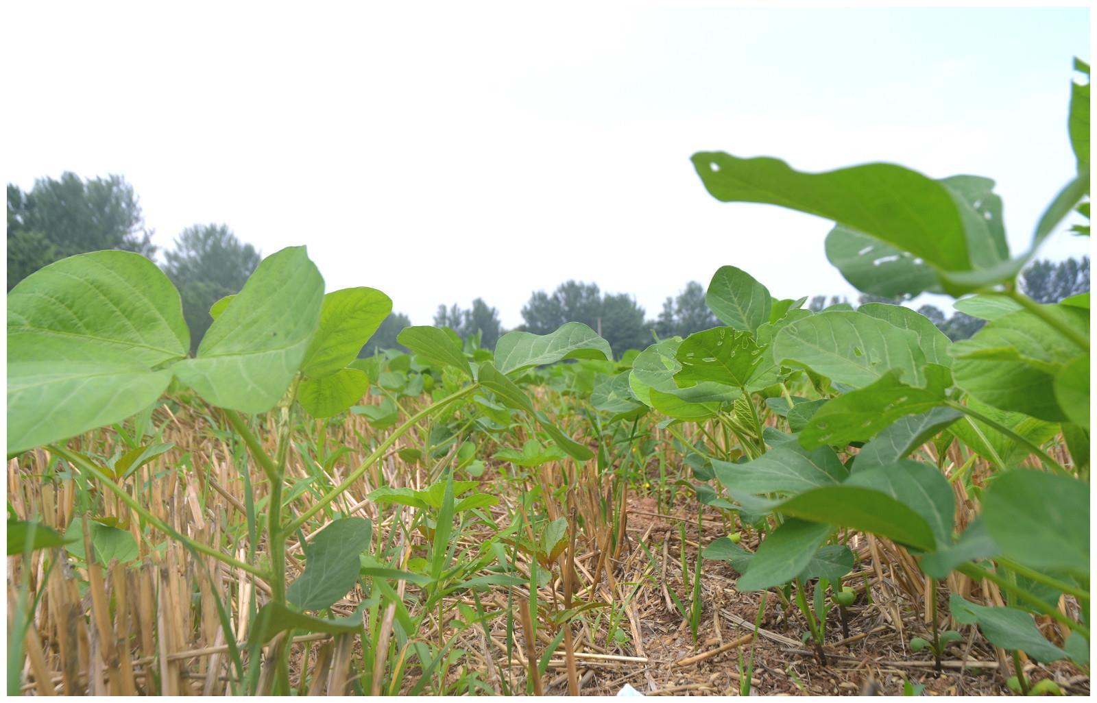 大豆虫害来袭,3点因素增加防治难度,农民朋友牢记施药技巧