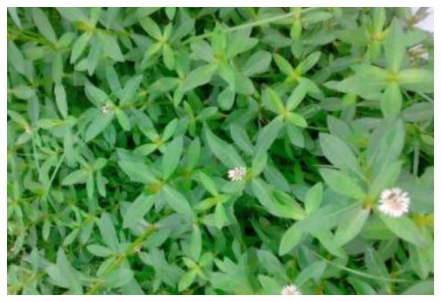 农村人及其厌恶的这种野草打都打不死,叶子根茎可作饲料也可入药