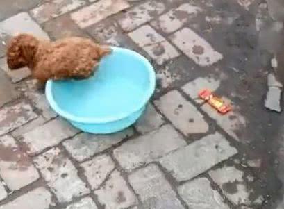 """泰迪玩洗脸盆,玩着玩着就""""不见""""了,剩下一个脸盆在""""奔跑"""""""
