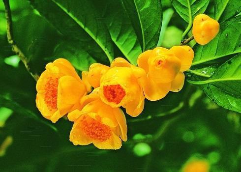 """它是真正的""""花茶"""",开出盏盏黄花,摘一朵就能泡"""