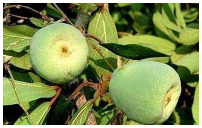 长在山里的绿色果子,看来很很像无花果,原来是做果冻的原材料