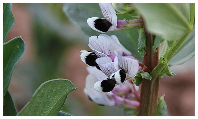 大豆花期如何管理?学会4个技巧,种的大豆开花多,结荚多