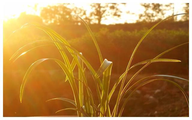 兰花施用复合肥时氮,磷,钾的比例如何搭配?按照生长期来搭配