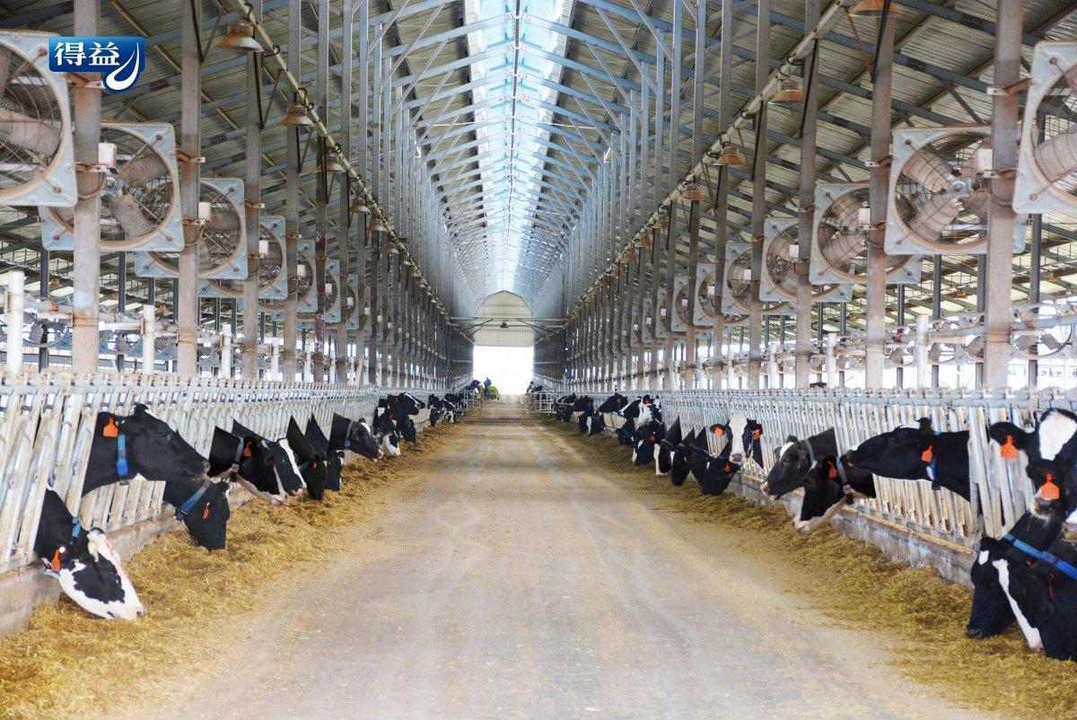 7000头优质澳牛进驻得益牧场,开启得益乳业国际品质新纪元