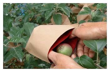 """套袋梨为何会发生黑点病?如何采用""""农化""""结合的方式进行防治?"""