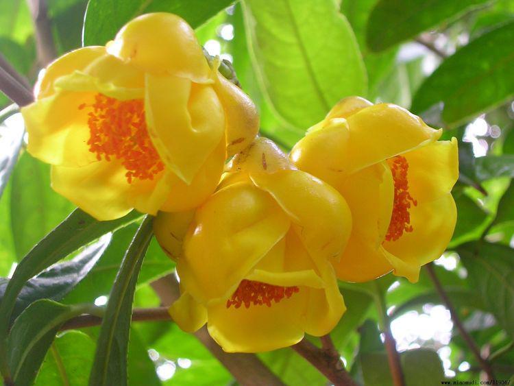 金花茶是我国一级保护植物,表面光洁油润呈金黄色,十分漂亮