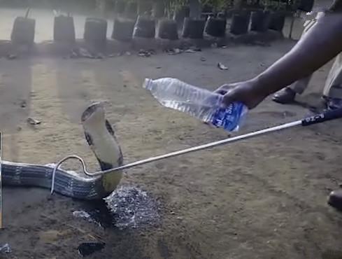 眼镜蛇来排队要水喝, 好心村民看到后, 向其掏出水瓶