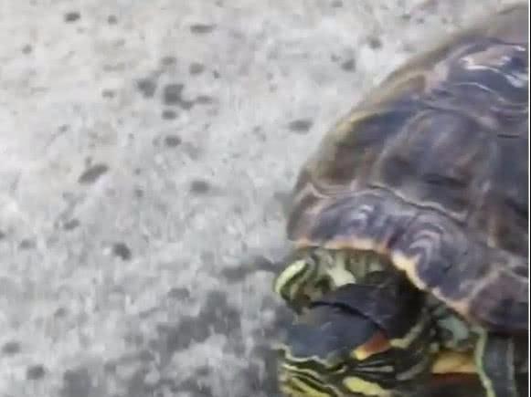 奇葩主人嫌乌龟走太慢,直接给它做了个代步工具,接下来笑喷!