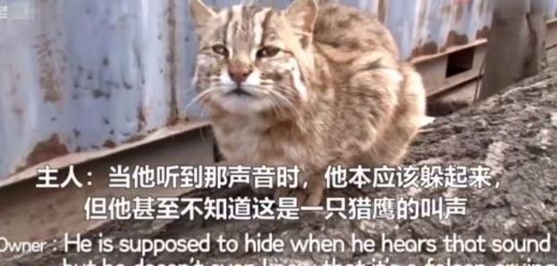 渔具里救出来的小猫,得知是豹猫主人欲送走,离别准备让人感动