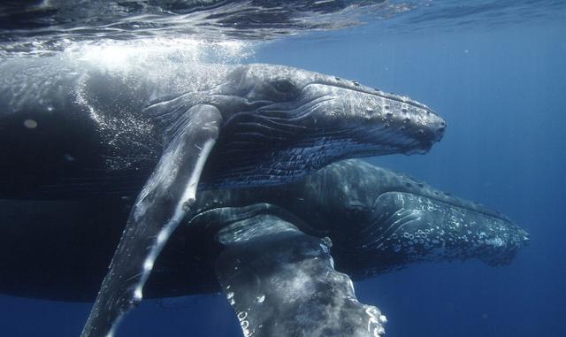 鲸鱼:感谢石油的出现,否则我们恐怕就要灭绝了