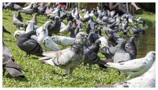 家庭饲养肉鸽常用的矿物质饲料,和维生素添加剂