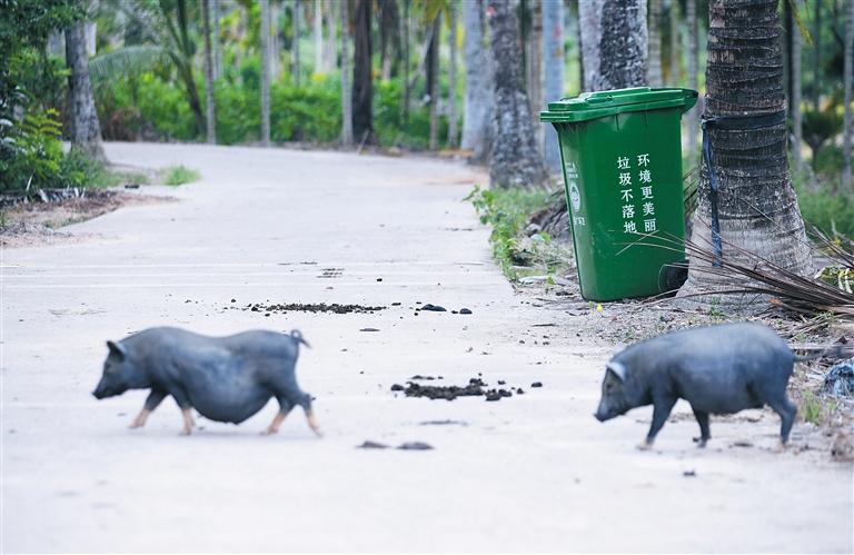 """陵水走信村:牲畜随处""""漫游"""" 粪便随地可见"""