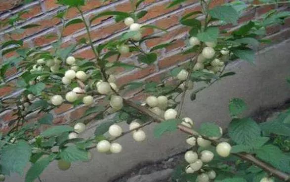 """买了盆盆栽,树上长满了""""白珍珠""""可是只能看不能摸!"""