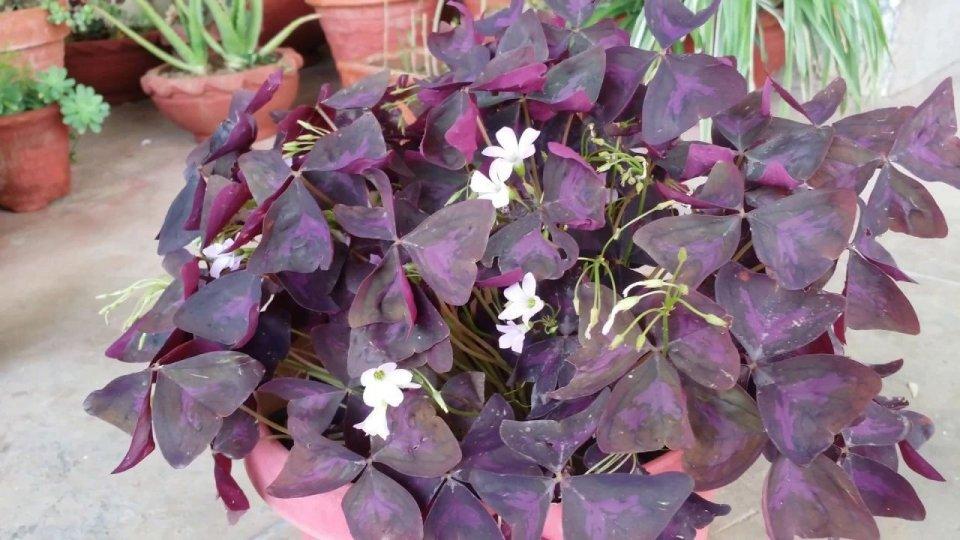 在花盆里野生长出来的幸运草,没想到比买来的花卉还好看