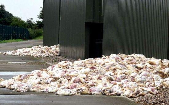 英国受高温天气影响 逾千只养殖场家禽意外死亡