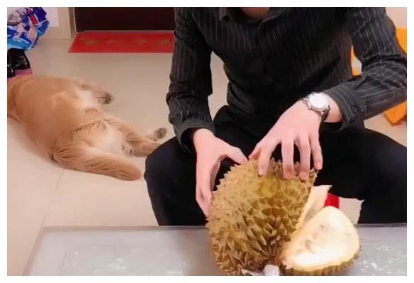 主人在家吃榴莲,金毛叼来洗脸盆,接下来一幕笑翻了