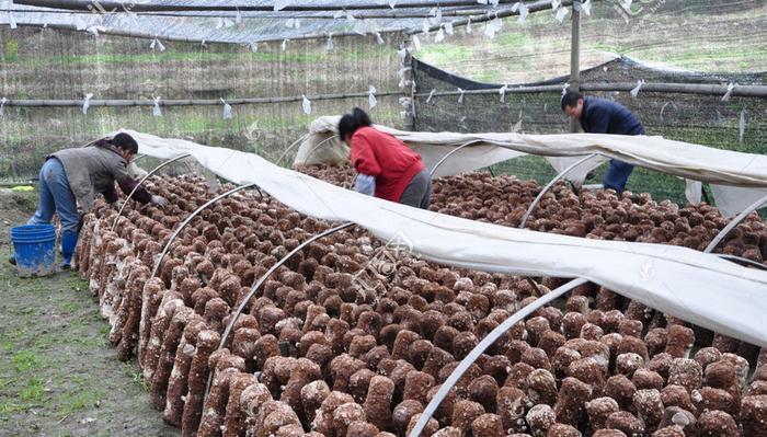 """农村一种食用菌,亩产1万5千斤,据说是""""补肾""""抗肿瘤的美食呢"""