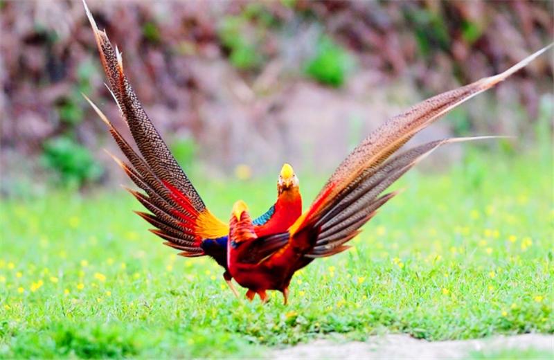 犹如凤凰在世,真实身份却是家禽,鸟类中颜值最高