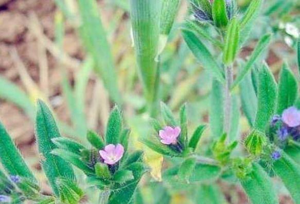 乡下常见的一种野草,其实是优质的饲料,种子非常值钱