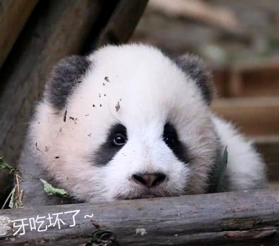 大熊猫吃竹子硌断牙,专家为其定制钛金属假牙:壕到晃眼