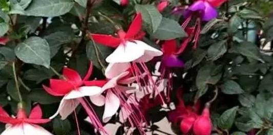 剪一段枝条插花盆,10天开满灯笼花,养好倒挂金钟,如此简单