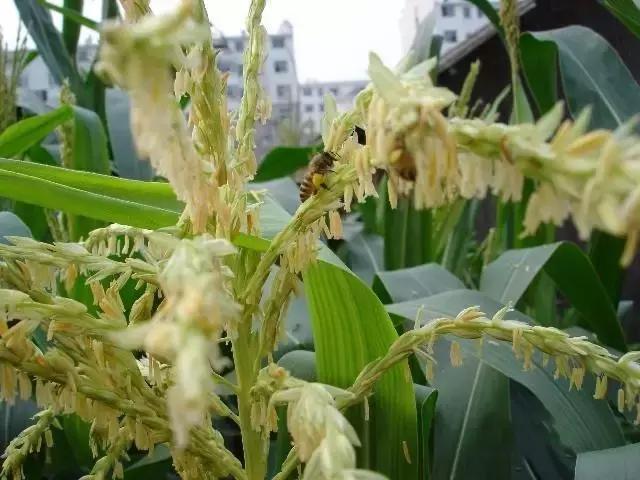 如何挑选优质的玉米种子?农民不注意这些,可是要吃亏的!