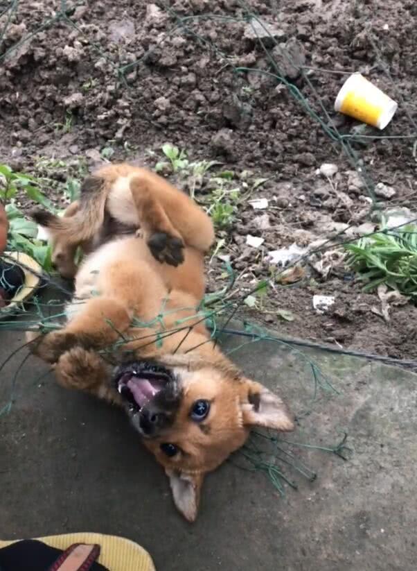 狗狗被网线缠身,根本无法解开,结果一个打火机全解决!