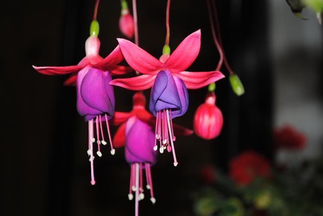 """邻居们都在种""""灯笼花"""",年初种上一株,来年阳台变花海!"""