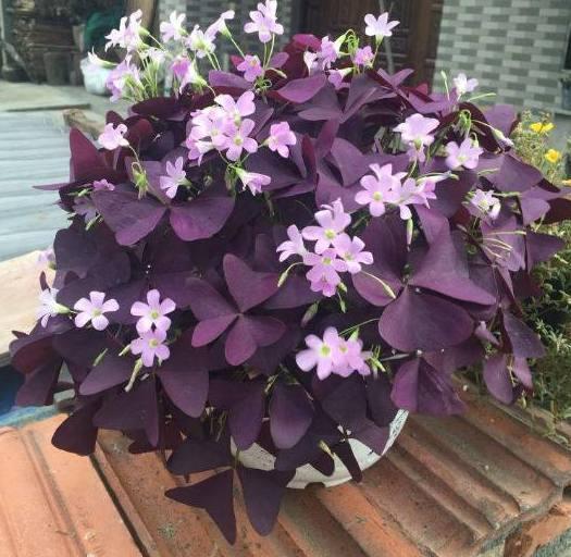 一种适合新手花友的盆栽花卉,花色繁多容易养,花开美丽