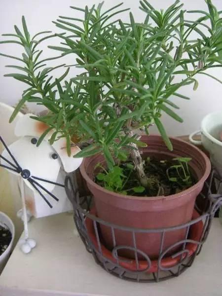 这些花卉养一种就能让整个阳台充满香气,新手也能种活