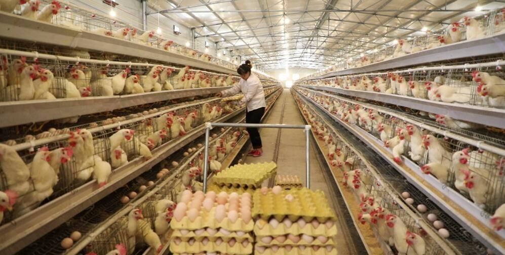 黎平:全力发展畜牧产业 助推全县脱贫攻坚