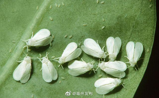 空中的白色小飞虫是白粉虱 外出可戴口罩和眼镜防护